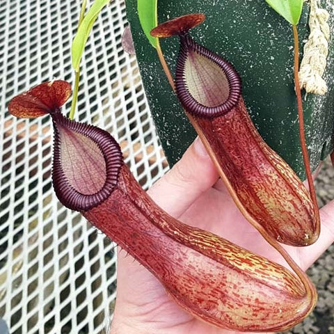Nepenthes ventricosa x hamata - Small