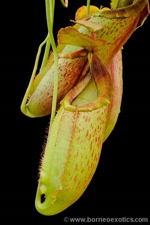 Nepenthes spathulata x mira - Medium/Large