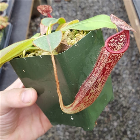 Nepenthes glandulifera x burbidgeae - Medium/Large