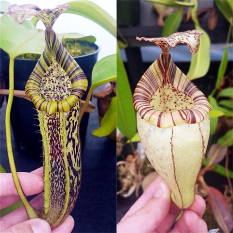 Nepenthes burbidgeae x platychila - Medium/Large