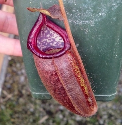 Nepenthes densiflora x talangensis - Small
