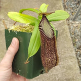 Nepenthes hamata - Large