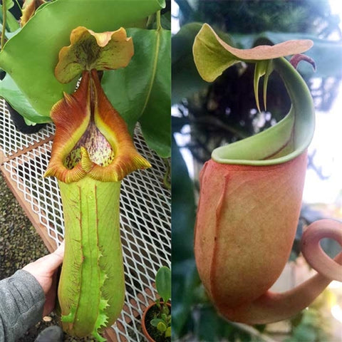 Nepenthes Titan's Bounty