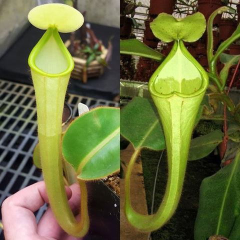 Nepenthes chaniana - Medium