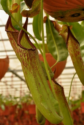 "Nepenthes maxima ""Tatawiran"" - Medium/Large"
