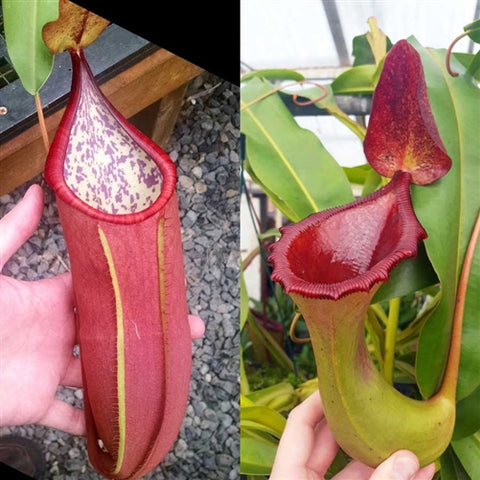 Nepenthes Secret Battle