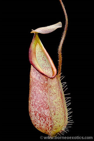 Nepenthes hirsuta - Medium/Large