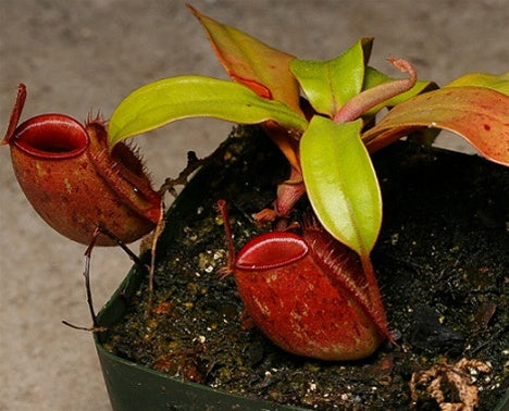 "Nepenthes ampullaria ""Williams Red x Harlequin"" - Medium/Large"