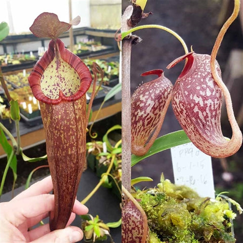 Nepenthes Dreaming Angel