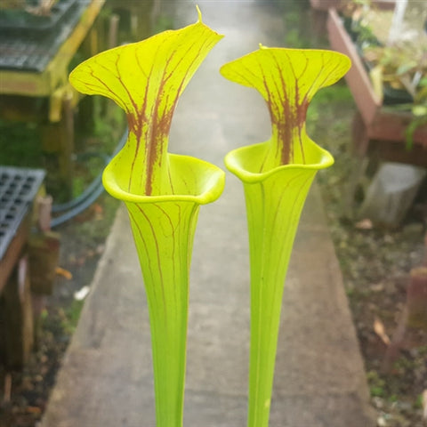 Sarracenia flava - Medium/Large