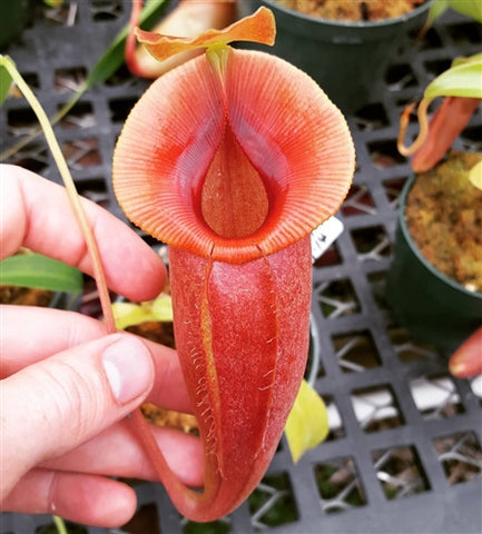 Nepenthes spathulata x jacquelineae - Medium
