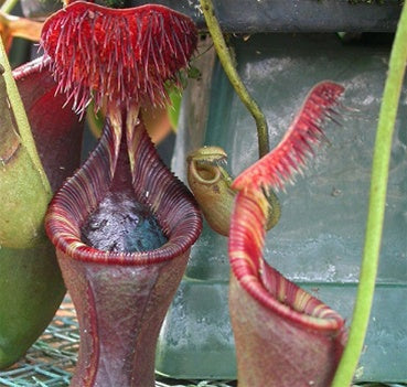 Nepenthes lowii - Small