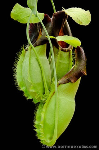 Nepenthes spathulata - Small