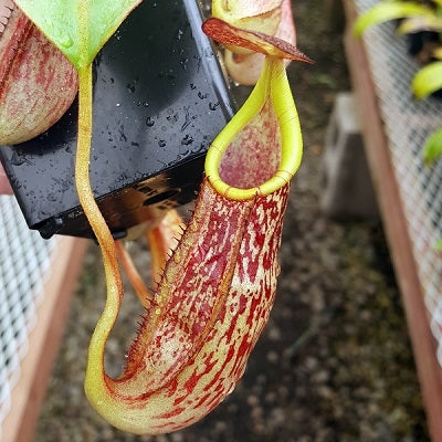 Nepenthes spectabilis x veitchii - Medium