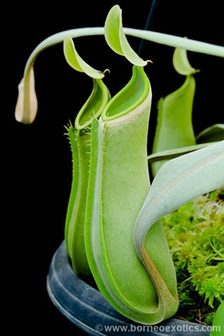 "Nepenthes albomarginata ""Green"" - Medium"