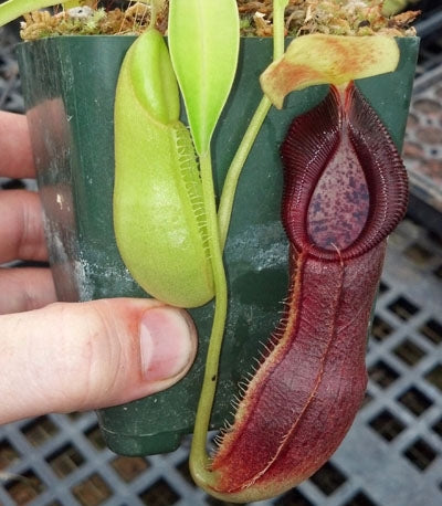 Nepenthes singalana x diatas - Medium