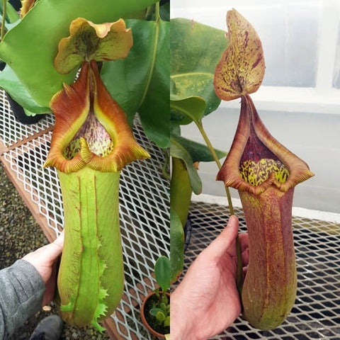 Seed-grown Nepenthes truncata - N. Titanic Tyrant - XS