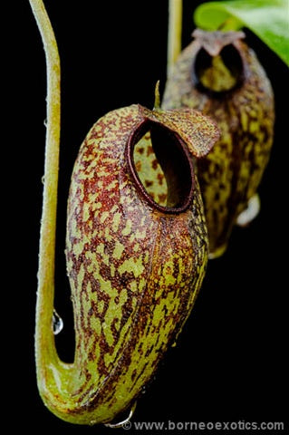 Nepenthes aristolochioides - XS