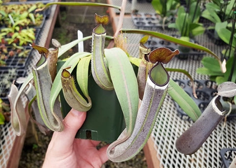 "Nepenthes albomarginata ""Kuching Spotted"" - Small/Medium"