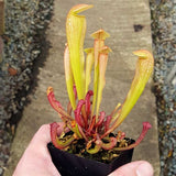 "Sarracenia ""Bug Bat"" - Small"