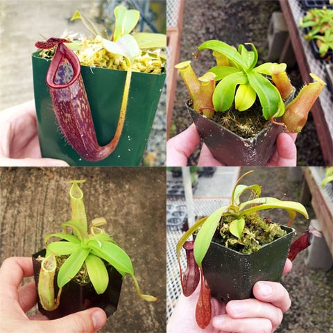 Bulk Mixed Tropical Pitcher Plants (Nepenthes) - 20 ct.