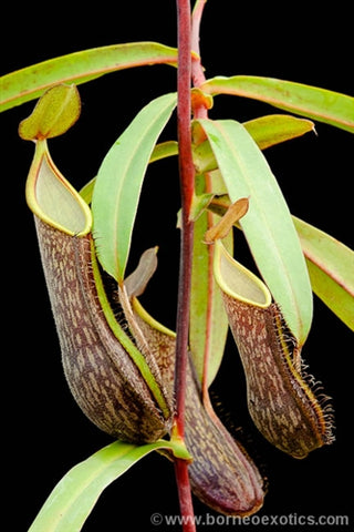 Nepenthes mikei - Small