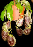 Nepenthes x hookeriana - Large