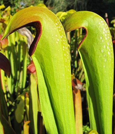 Sarracenia minor 'Okee Giant' - Medium