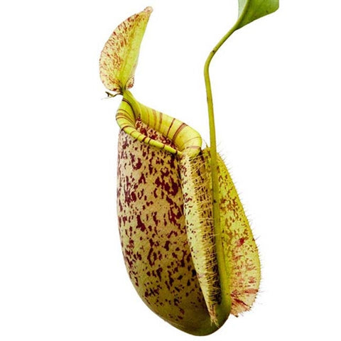 Nepenthes x hookeriana (BE) - Small