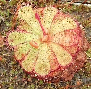 "Drosera ""Floating"" seeds"