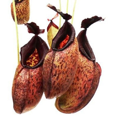 Nepenthes aristolochioides x robcantleyi - Small