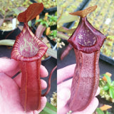 Nepenthes Dream of Victory - XS/Small