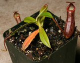 Nepenthes macfarlanei - Small