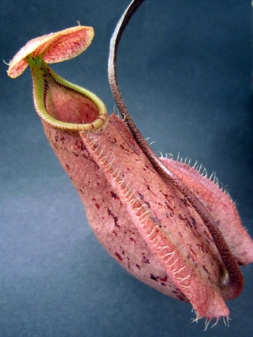 "Nepenthes rafflesiana ""Kuching Squat Red"" - Large"