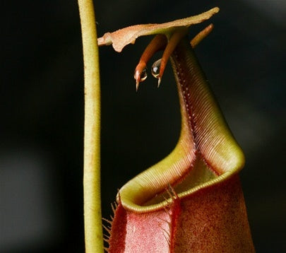Nepenthes bicalcarata - Medium
