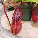 "Nepenthes singalana x ""Hairy Red Hamata"""