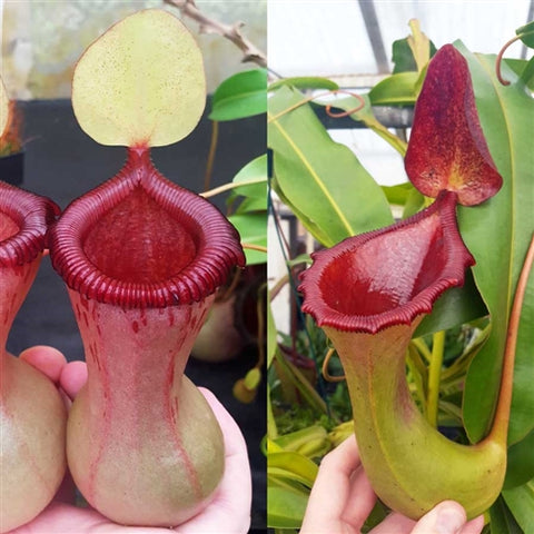 Nepenthes Virtuous Battle