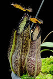 Nepenthes hamata - small