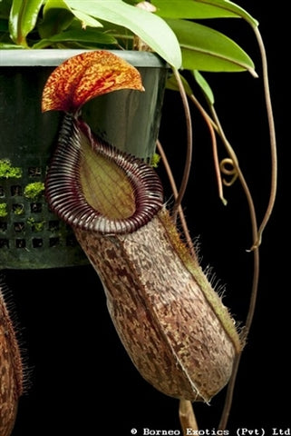 Nepenthes sibuyanensis x hamata - Medium