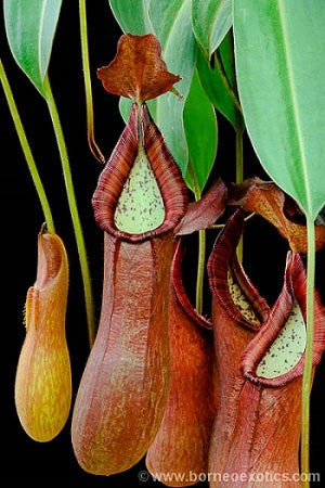 Nepenthes petiolata - Small/Medium