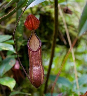 Nepenthes muluensis - XS