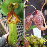 Nepenthes Titan Angel - Small