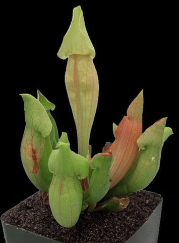 Sarracenia 'Carolina Yellow Jacket' - Medium