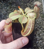 Nepenthes platychila x robcantleyi - Small