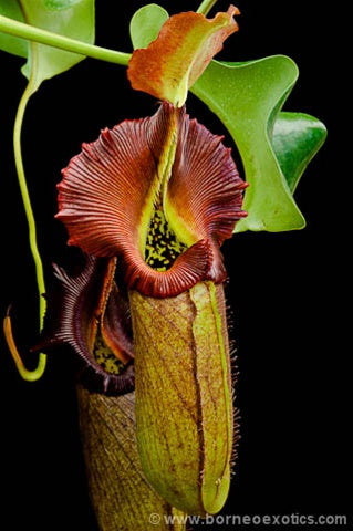 Nepenthes robcantleyi - Small