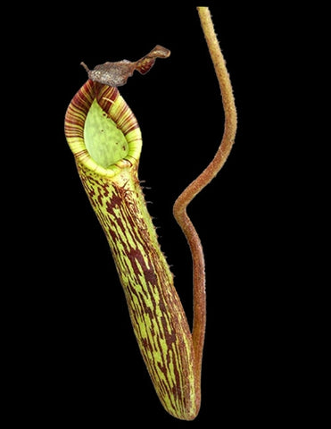 "Nepenthes fusca ""Flared Peristome"" - Small/Medium"