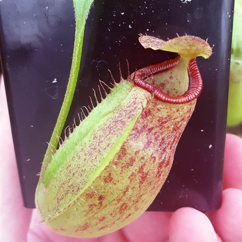 Nepenthes Titanic Triumph - Small