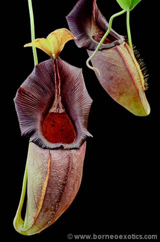 Nepenthes ovata - XS/Small