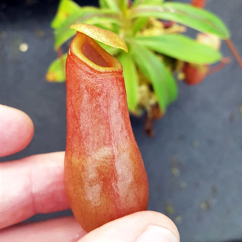 Nepenthes aenigma - Small