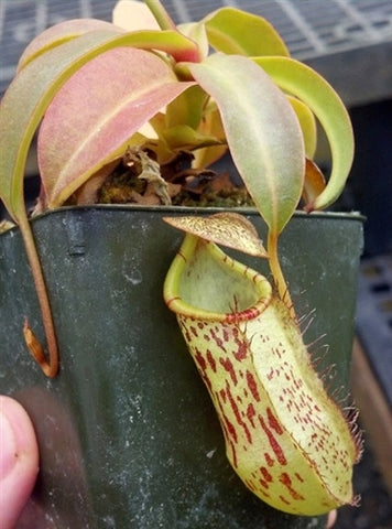 Nepenthes spectabilis x burkei - Small